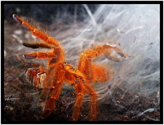 Arachnid vs. Melolontha
