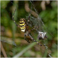 Arachnide : Argiope