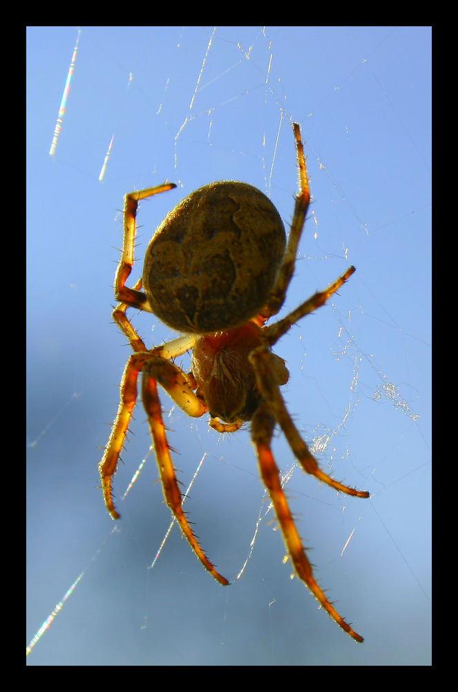 Arachnoidea