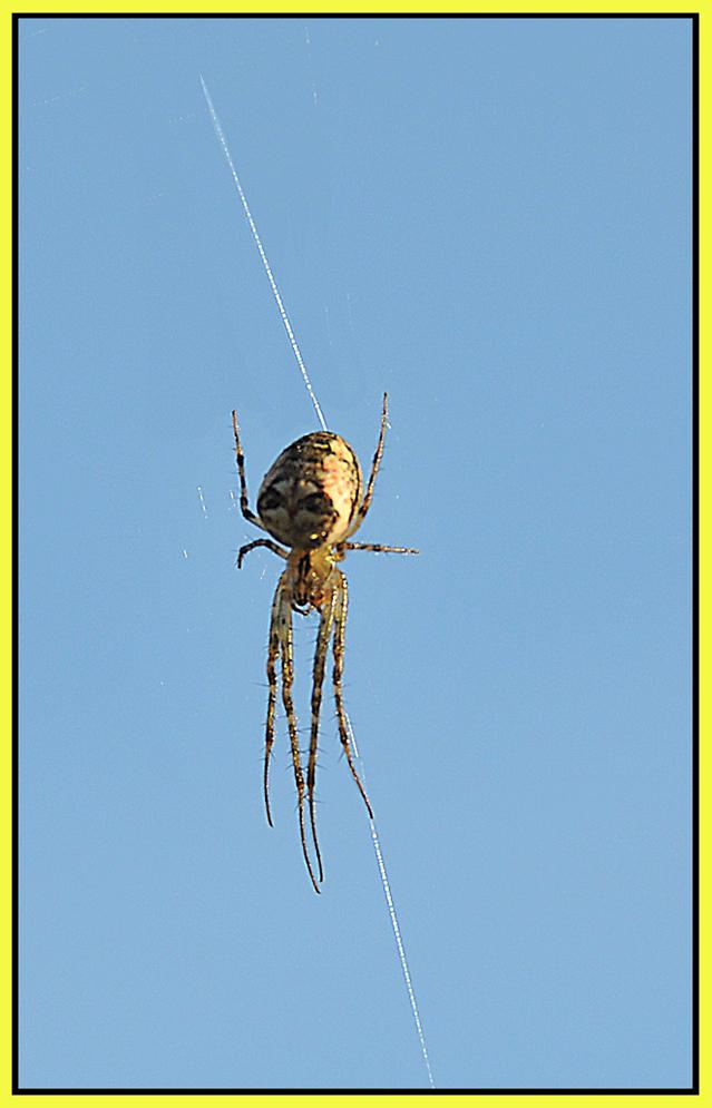 Aracnius 54 ( patas largas)