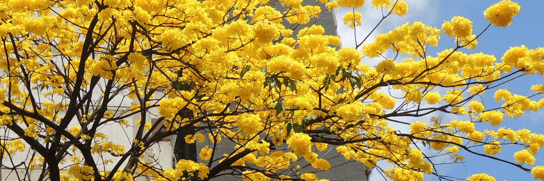Araguaney en flor (Handroanthus chrysanthus)