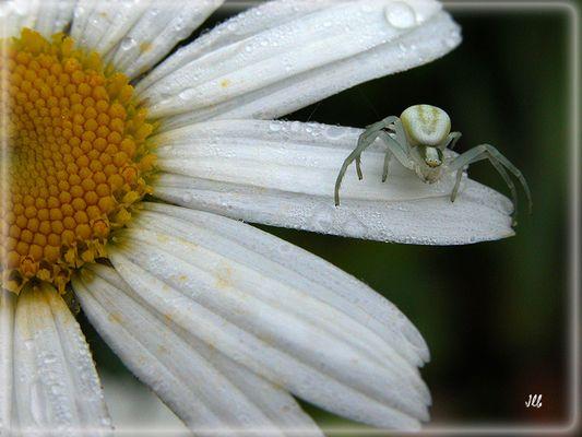 araignée blanche