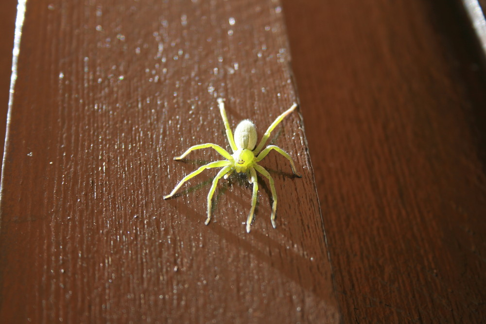 araignée bretonne