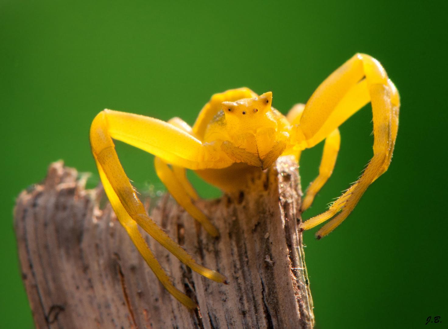 Araignée crabe