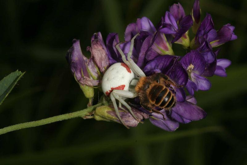 Araignée crabe et abeille