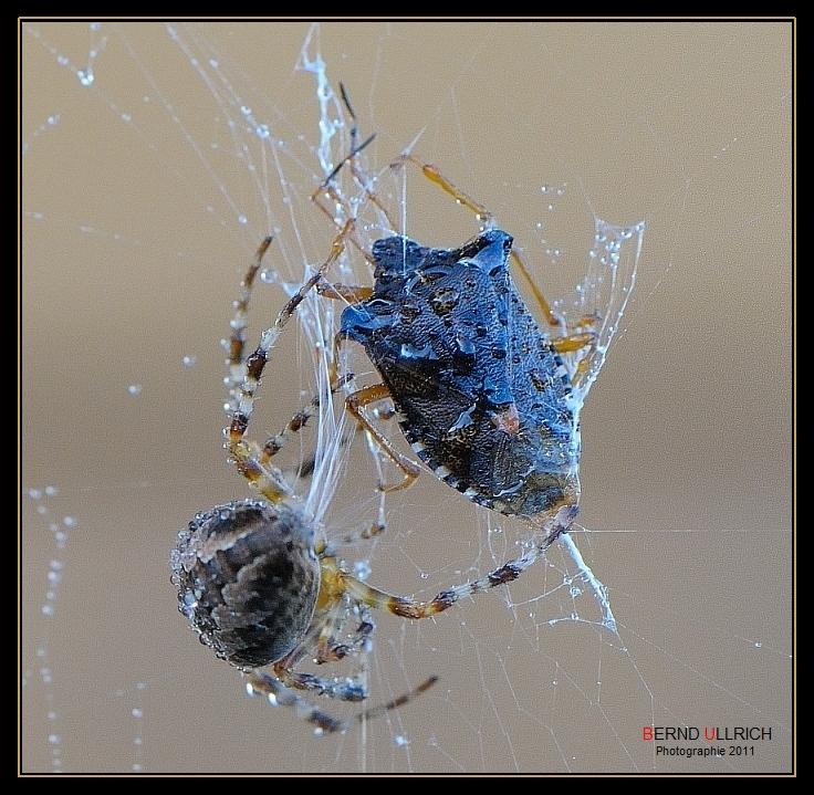 Araignée de la Croix (Araneus) 2