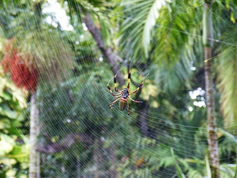 araignée des bananiers