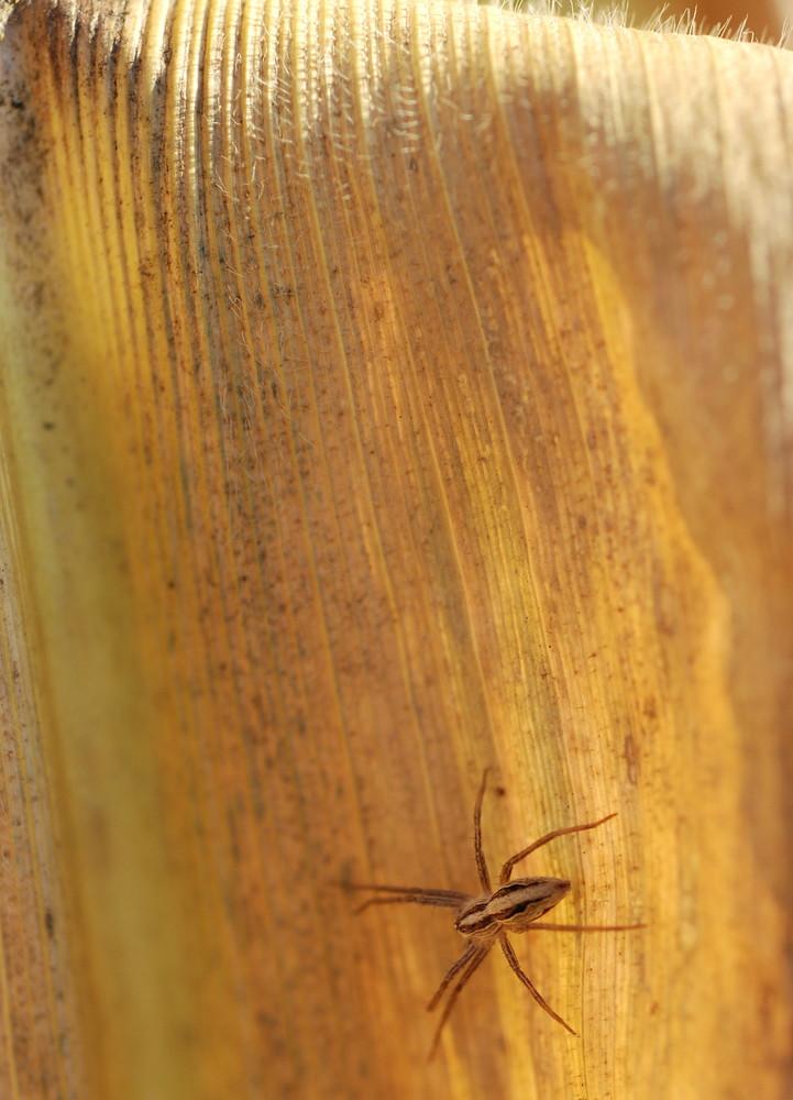 araignée des maÏs
