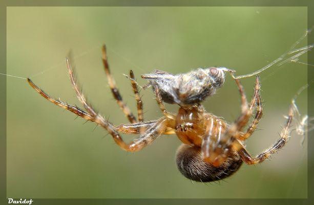 araignée devant son repas !!!