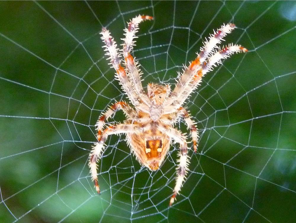 araignée du jardin, le matin, chagrin