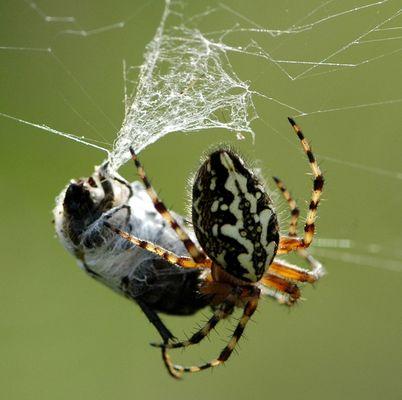 Araignée et la mouche emballée pour un futur festin…
