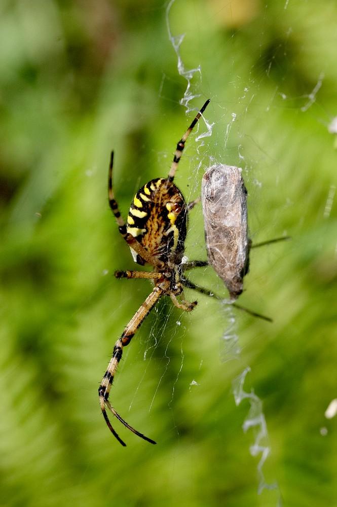 araignée et son garde manger