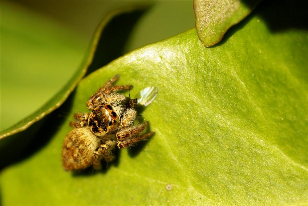 araignée evarcha falcata