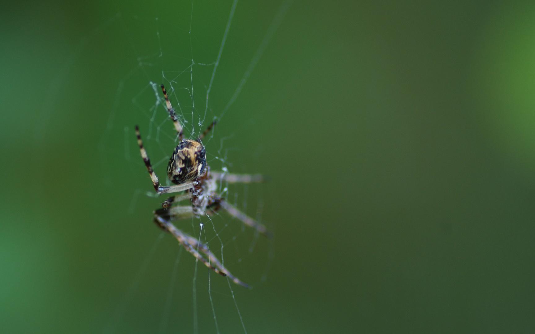 Araignée Grabel