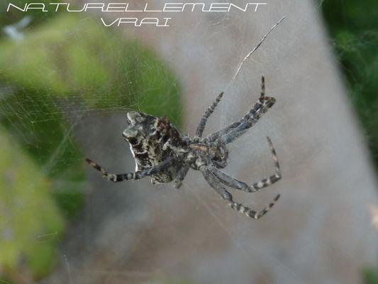 araignée inconnu !