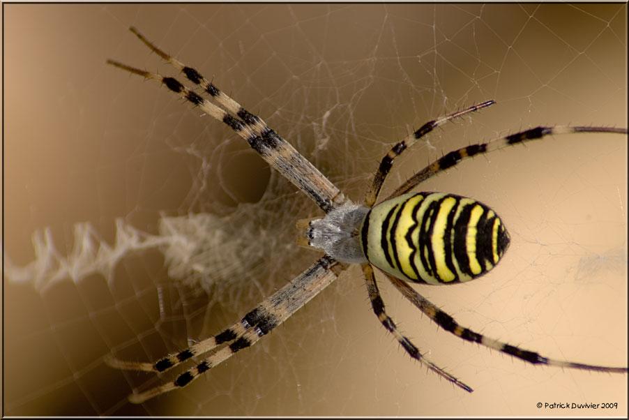 Araignée jaune et noire