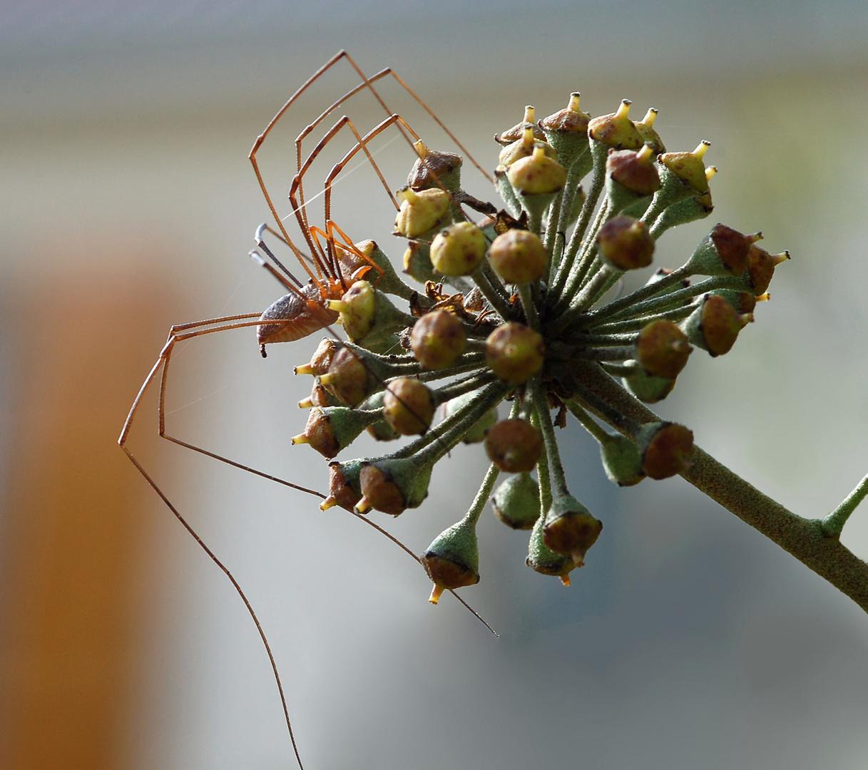 """Araignée """" le faucheux """" (2)"""