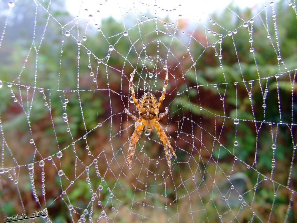 Araignée par temps de brouillard