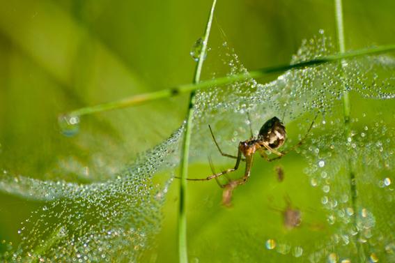Araignée rosée du matin