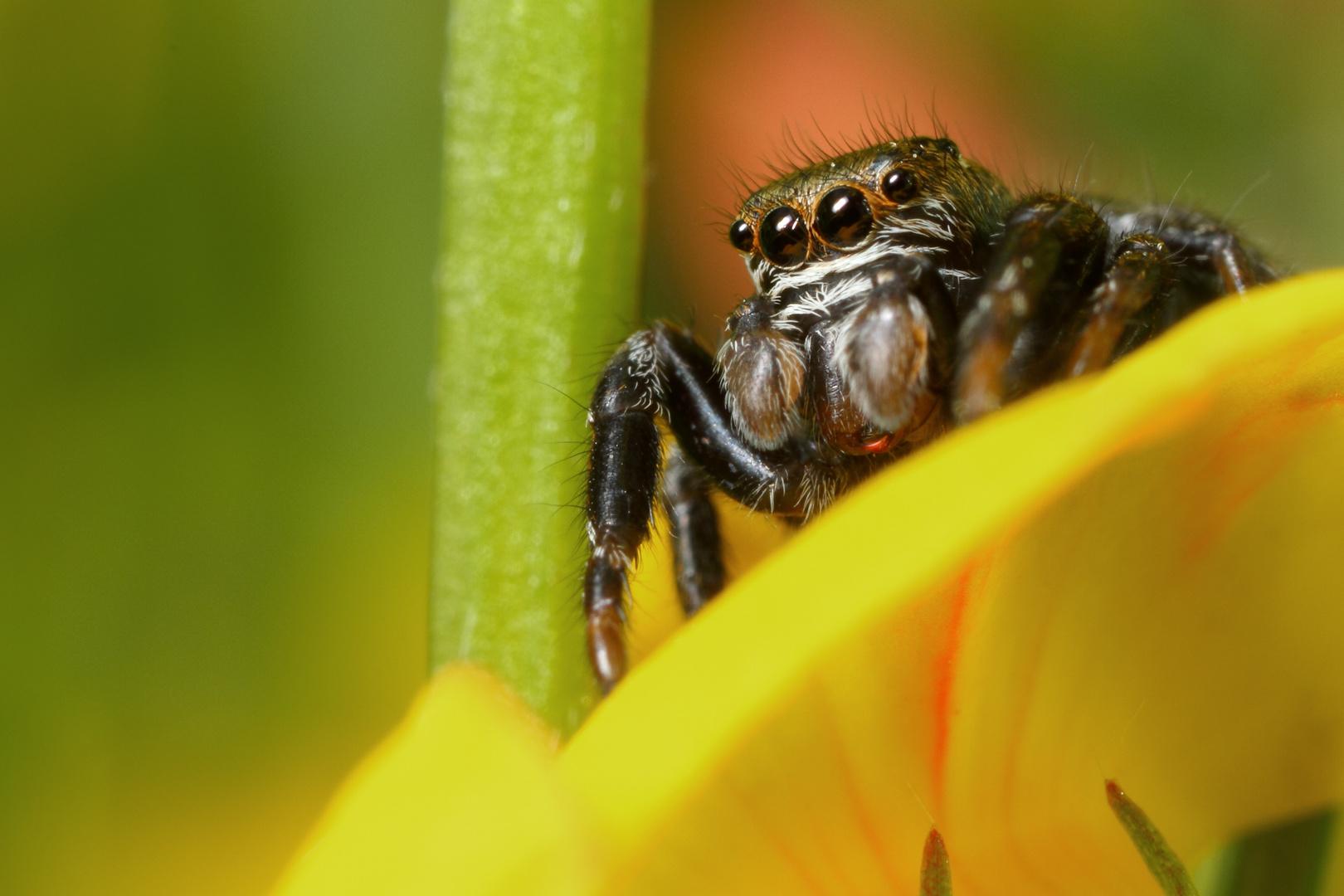 Araignée saltique à l'affut de sa proie