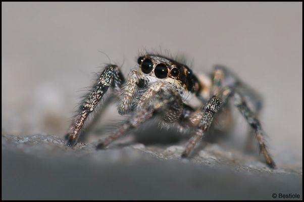 Araignée sauteuse (Salticus scenicus)