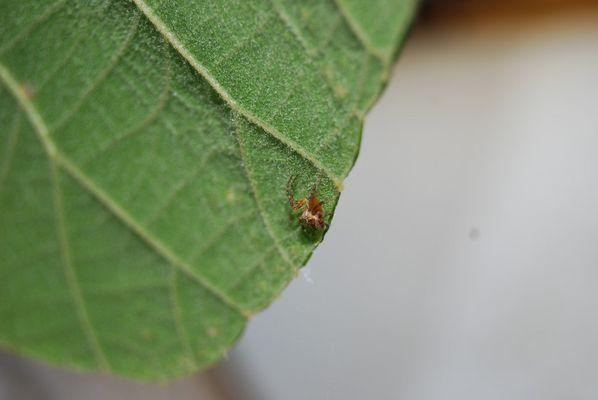 Araignée sur kiwitier