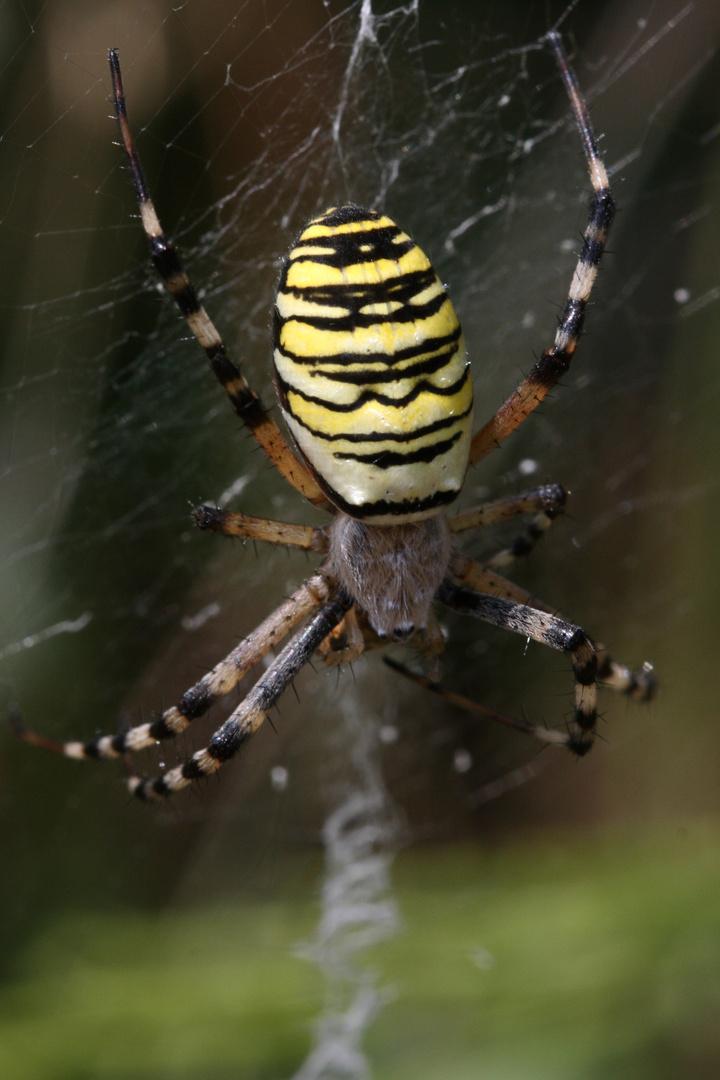 araignée sur la toile