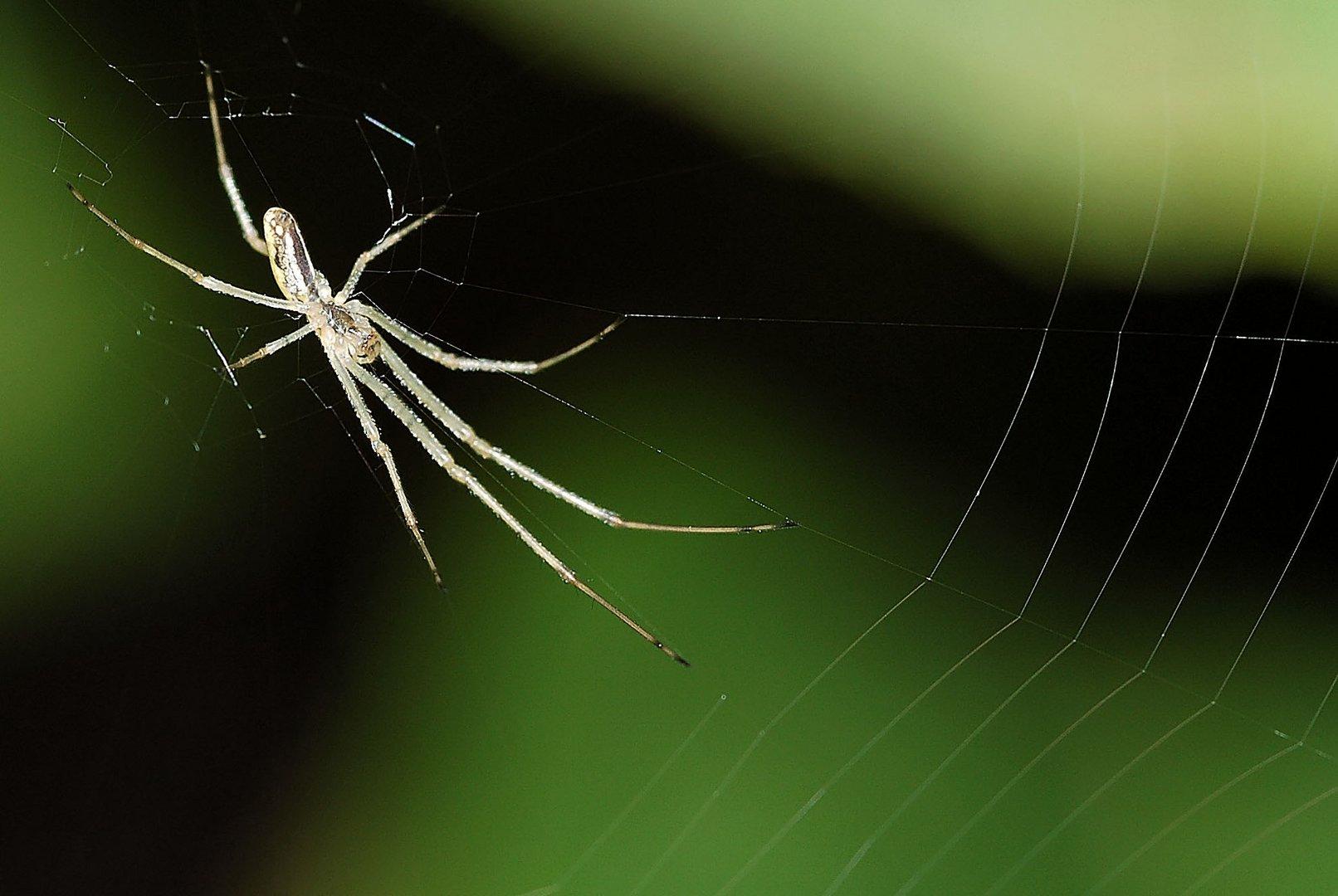 Araignée Tetragnathe.