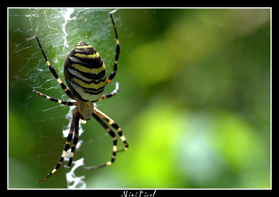 Araignée tigre...