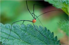 Araignée Tinguely (Opiliones > Sclerosomatidae,Leiobunum rotundum)