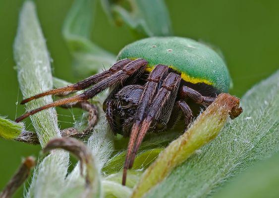 Araneus apricus