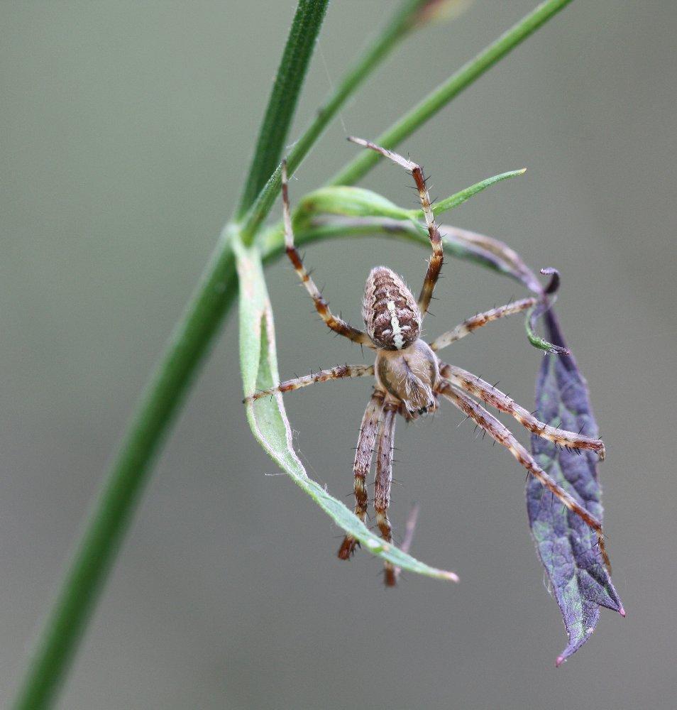 Araneus diadematus - Gartenkreuzspinne