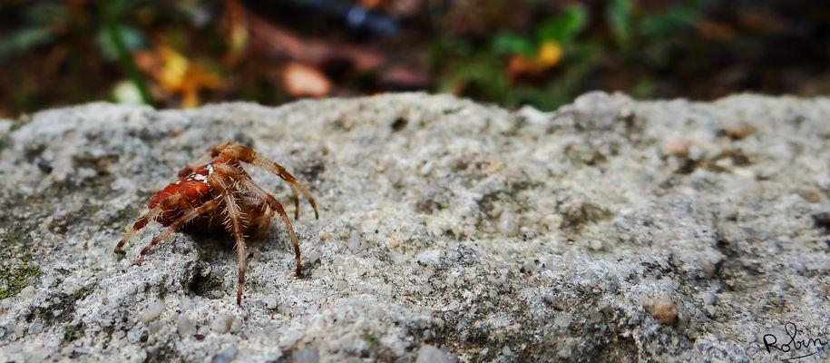 Araneus pallidus ?