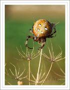 Araneus quadratus...