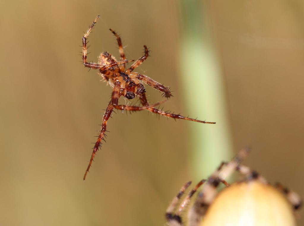 Araneus quadratus, Vierfleck-Kreuzspinne Männchen