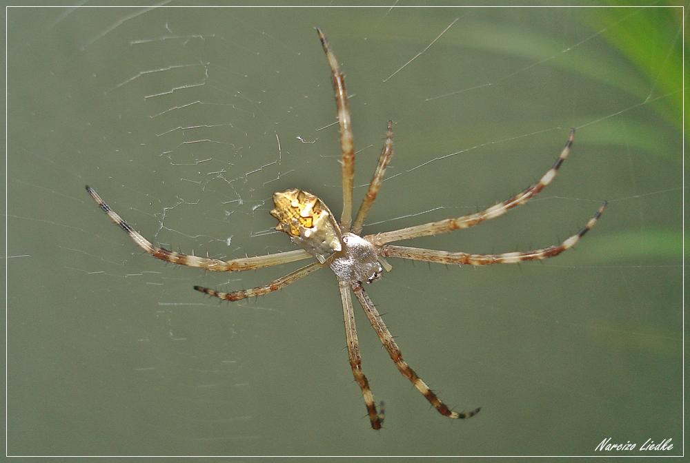 Aranha - I