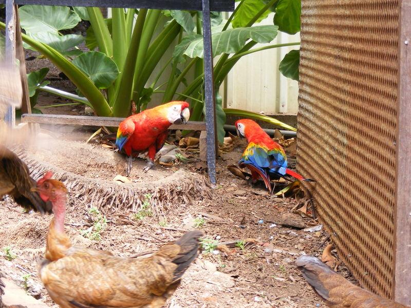 aras en Guyane