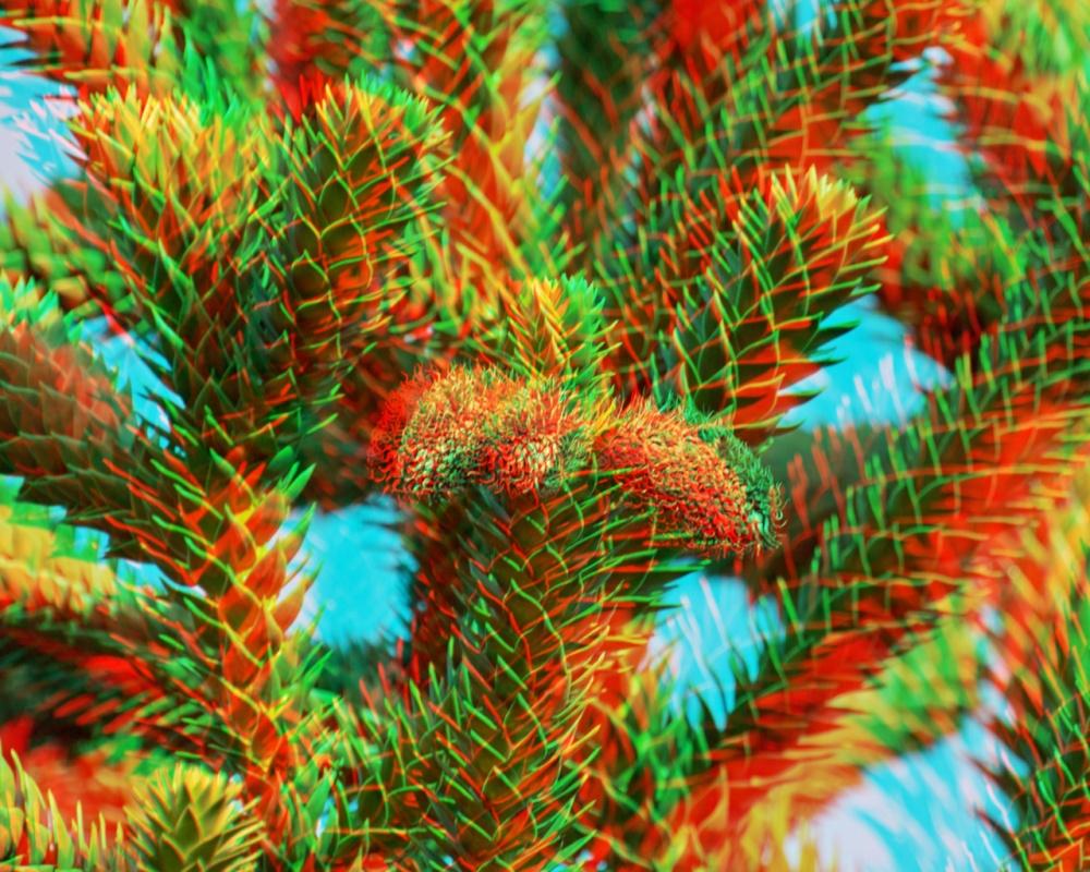 Araucaria araucana (Andentanne) (3D für Rot/Cyan Brille)