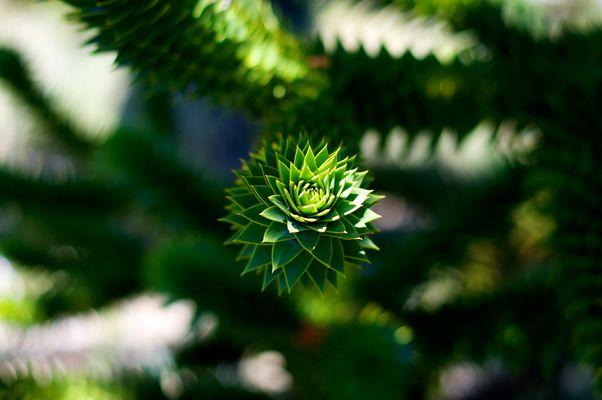 Araukanienbaum