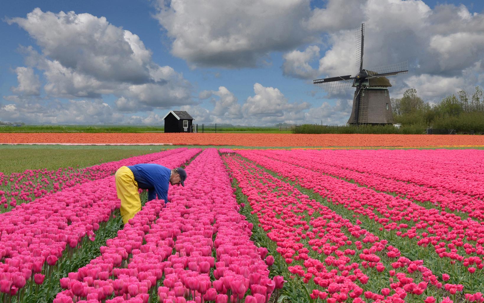 Arbeit im Tulpenfeld