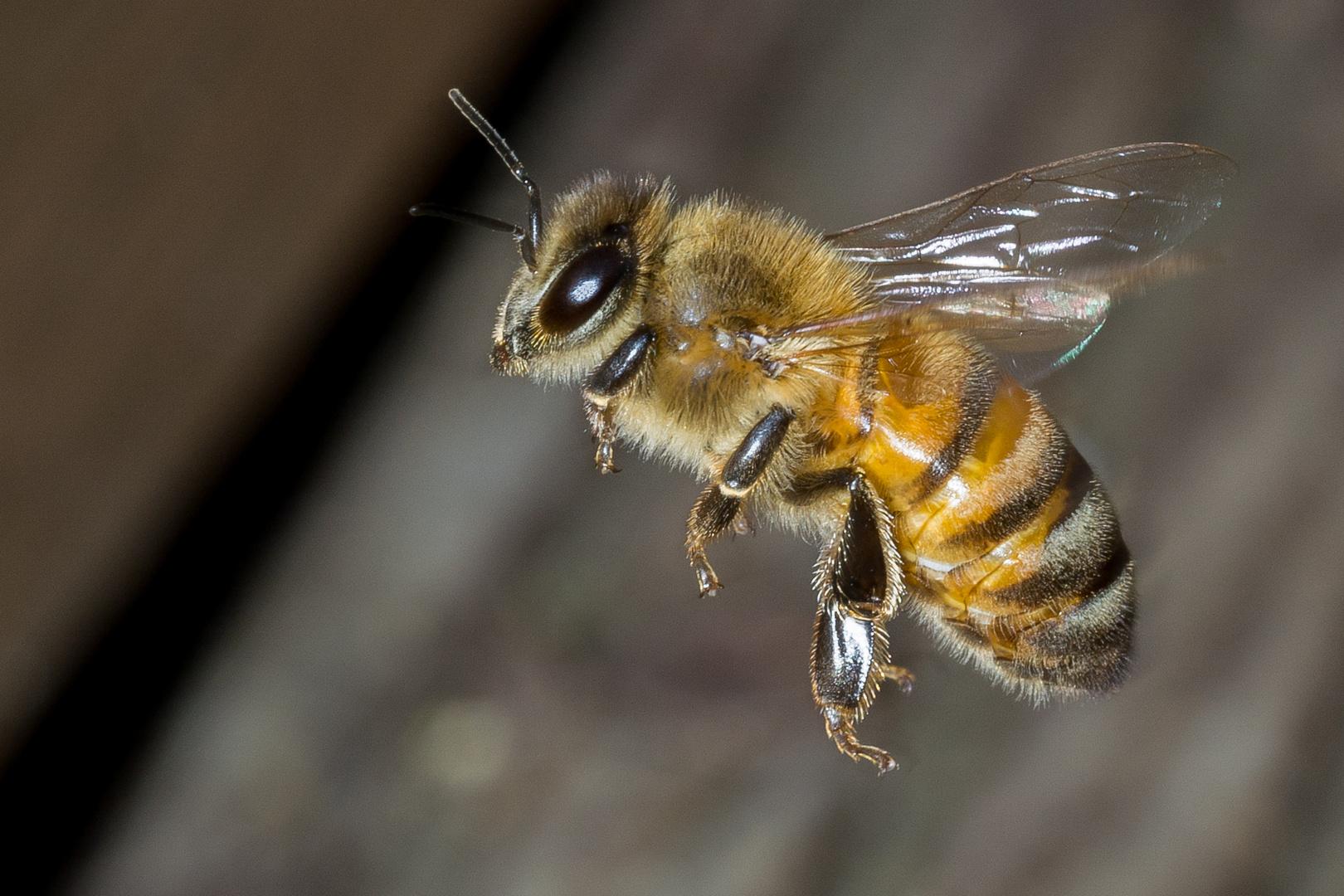 Arbeiterin der Honigbiene auf dem Weg nach Hause
