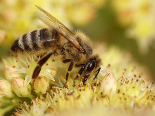 Arbeits - Biene am heißesten Tag des Jahres...