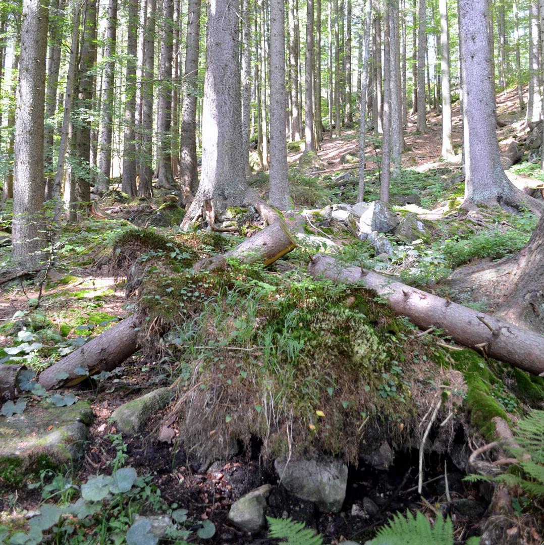 Arberwald, Wurzelwerk