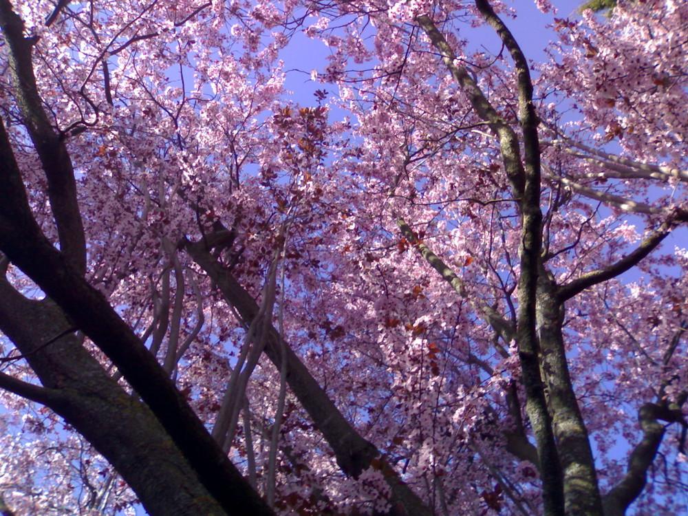 Arbol rosa imagen foto plantas rboles mis fotos - Arbol de rosas ...