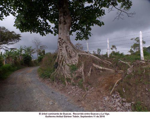 Arbol y raíces Baum und Baumwurzeln