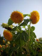 Arboretum sunflowers
