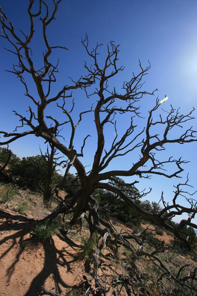 Arbre dans Canyonlands