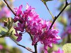 arbre de judée 2ème floraison octobre 2010 bis