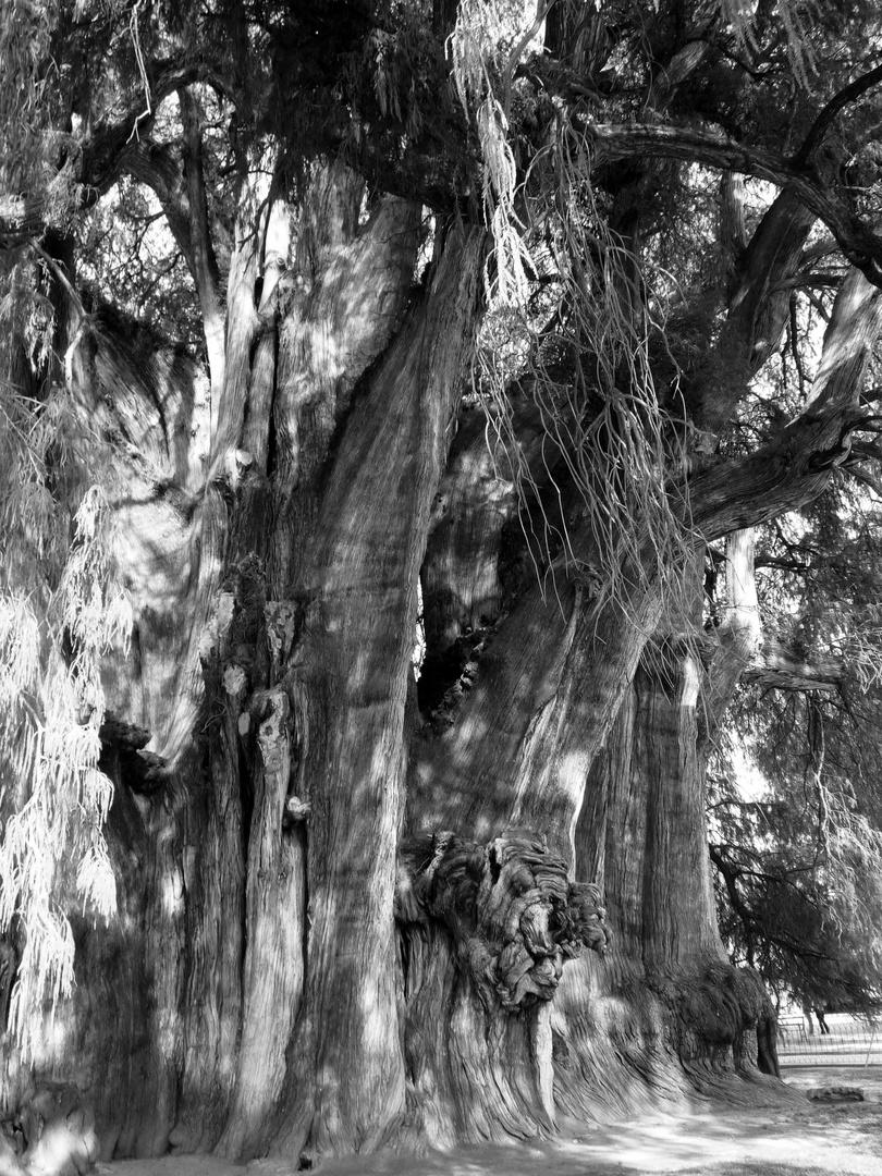 arbre de tule