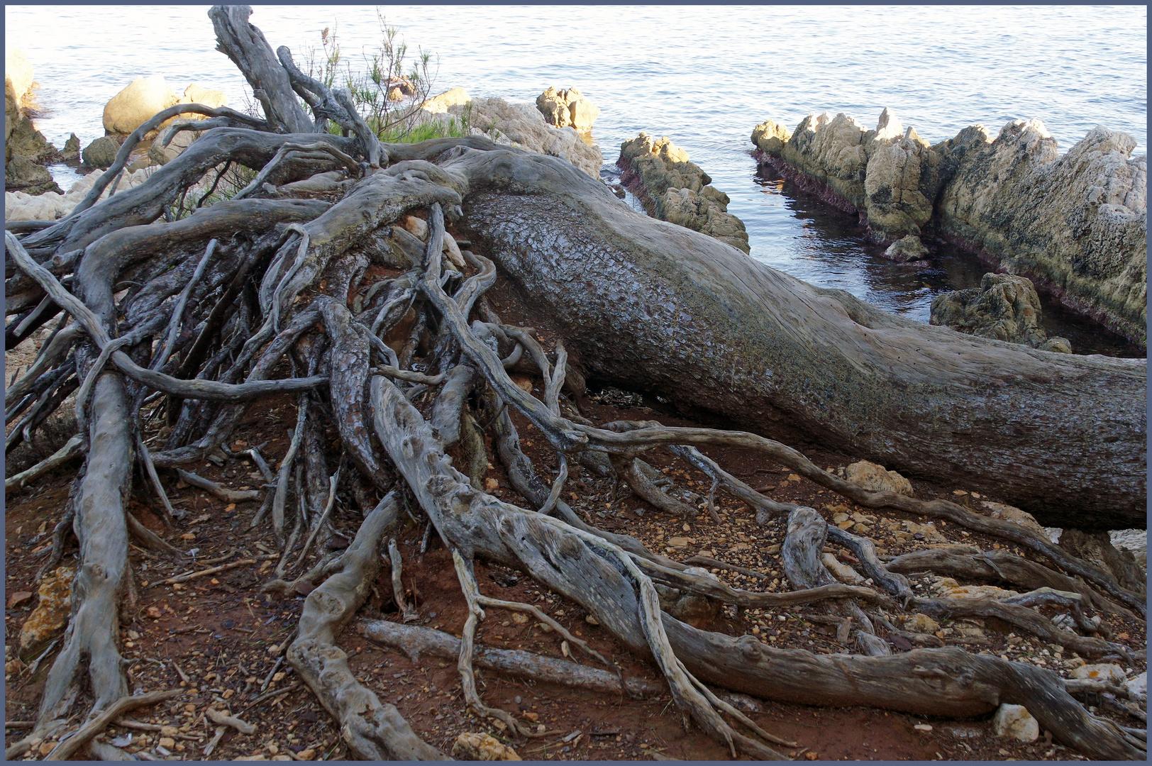 arbre déraciné...
